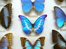 Blue butterflies display. Impressive blue butterfly display in museum Stock Photography