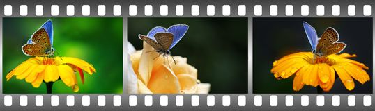 Blue butterflies on flowers in frame in form film. royalty free stock photos