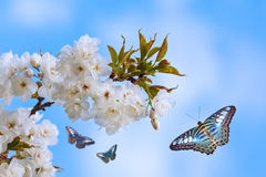 Blue butterflies flying around a blossoming tree Stock Image