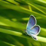 Blue butterflies Stock Photography