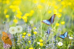 Free Blue Butterflies In The Foreground Flying In A Sunny Meadow Royalty Free Stock Photo - 118716985