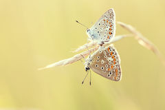 Blue butterflies Lycaenidae mating Stock Photos