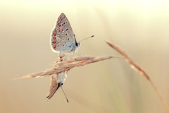 Blue butterflies Lycaenidae mating Stock Images