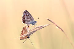 Blue butterflies Lycaenidae mating Stock Photo