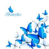 Blue butterflies Stock Photo