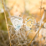 Blue butterflies royalty free stock photo