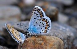 Blue butterflies. Two butterflies on a stone in Sierra Nevada stock photography