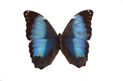The Blue Butterfly. Blue butterfly isolated on a white background Stock Photography
