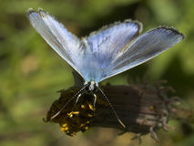 Blue Butterfly. On dead dandelion Stock Photos