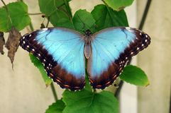 Free Blue Butterfly Stock Images - 11959534