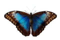 Blue Butterfly. Close up of a blue Morpho butterfly with wings open on a plain white background royalty free stock photo