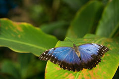 The blue butterfly Royalty Free Stock Photos