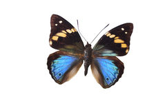 The Blue Butterfly 15. Blue butterfly isolated on a white background Royalty Free Stock Image