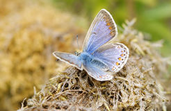 Blue Butterfly. Taken within the Derbyshire countryside in the UK Stock Photo