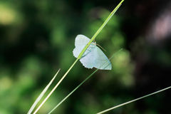 Blue butterfly. Little blue butterfly sits on a blade of grass Stock Photography