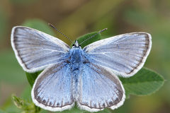 Blue butterfly. The close-up of blue butterfly stock images