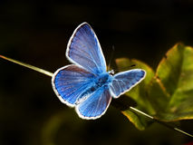 Blue butterfly. Common blue butterfly (Polyommatus icarus) over black meadow Stock Photos