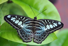 Blue butterfly. Image of a wild blue and black butterfly royalty free stock images