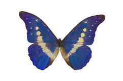 The Blue Butterfly 3. Blue butterfly isolated on a white background Stock Image