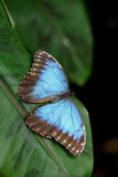 Blue Butterfly. On a green leaf Stock Photos