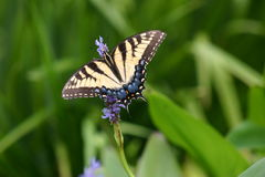 Blue Butterfly. On flower stock photos