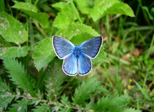 Blue butterfly. Sitting on leaves in garden Royalty Free Stock Photos