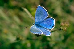 Blue butterfly. Beautiful butterfly on a dry flower Royalty Free Stock Photography