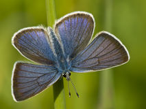 Blue butterfly. In the green grass Stock Photos