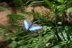 Blue Butterfly. Close-up of a butterfly. Taken at La Paz Waterfall Gardens. Costa Rica Stock Photography