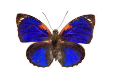 Blue butterfly. Great bright blue butterfly over white royalty free stock photography