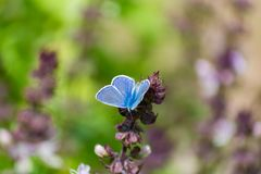 Blue butterfly on aromatic herbs basil plant in the garden Royalty Free Stock Image