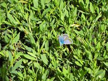 Blue butterfly on the background of small green leaves royalty free stock images
