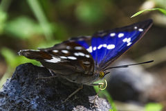 Blue butterfly basks on a rock Stock Images