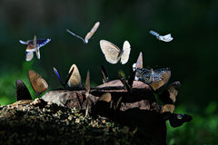 Blue butterfly. A beautiful blue wild butterfly resting on a stone Stock Image