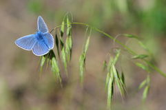 Blue butterfly blade of grass Stock Photo