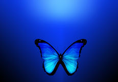 Blue butterfly on blue background. Blue butterfly on dark blue background Stock Photography