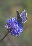 Blue butterfly on blue flower. Blue butterfly gathering nectar on blue flower Royalty Free Stock Image