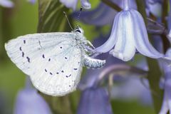 A blue butterfly on a bluebell royalty free stock photos