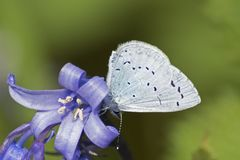 A blue butterfly on a bluebell stock photos
