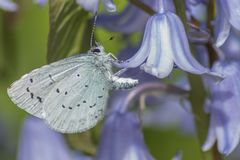 A blue butterfly on a bluebell royalty free stock images