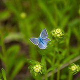 Blue butterfly. Blue butterfly with a broken wing on a green background stock image