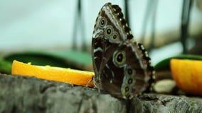 Blue butterfly stock footage