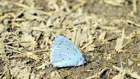 Blue Butterfly close-up. Close-up of a light blue butterfly Royalty Free Stock Photos