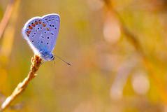 Blue butterfly. Polyommatus Coridon. Close up blue butterfly in the sunset light Stock Images
