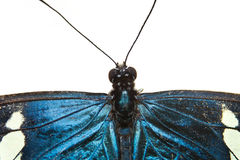 Blue butterfly closeup isolated on white Royalty Free Stock Photos