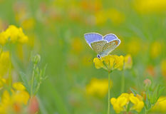 Blue butterfly_. A cute, small butterfly on a yellow flower in my garden Royalty Free Stock Photos