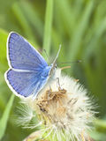 Blue butterfly on a dandelion Stock Image