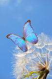 Blue butterfly on dandelion Stock Photography