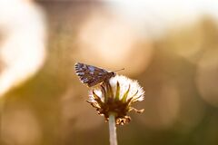 Blue butterfly on dandelion flower