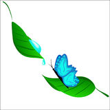 The blue butterfly drinking dew. From a leaflet Royalty Free Stock Image
